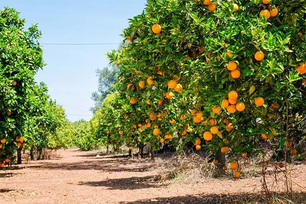 Апельсиновый сад во сне