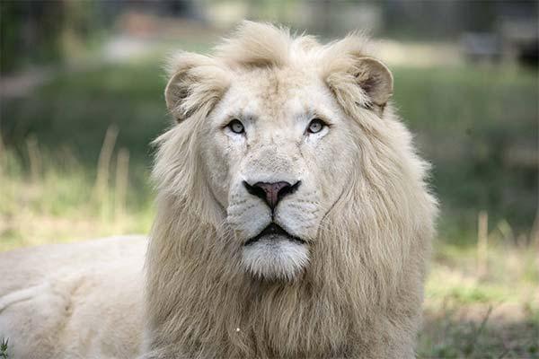 Белый лев во сне