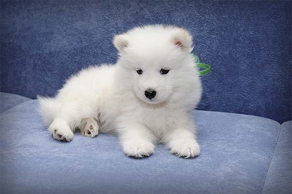 Белый щенок во сне