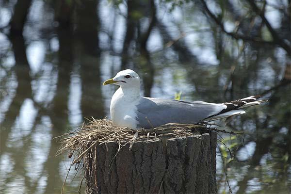 Чайка в гнезде
