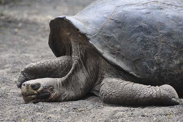 Черепаха спит