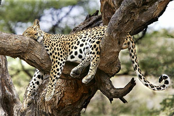 Что делал во сне ягуар