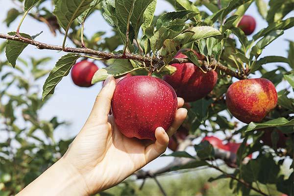 Что делали во сне с яблоками
