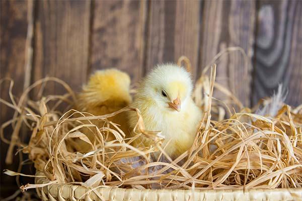 Цыплята в гнезде