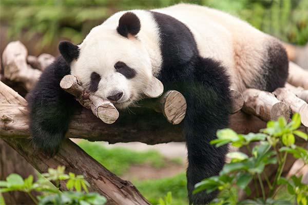 Где находилась во сне панда