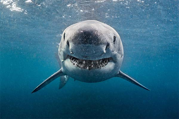 Какая приснилась акула