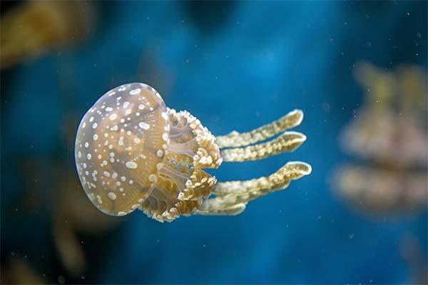 Какая приснилась медуза