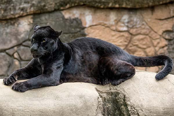 Какая приснилась пантера