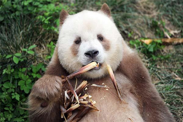 Какого цвета приснилась панда