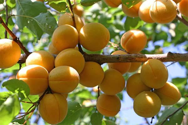 Какого цвета приснились абрикосы