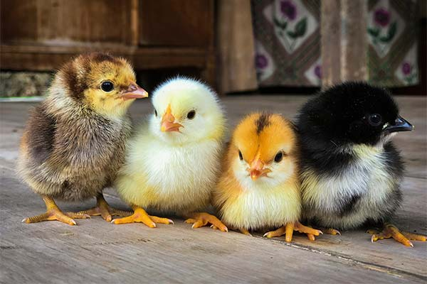 Какого цвета приснились цыплята