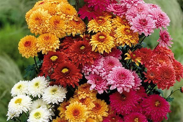 Какого цвета приснились хризантемы
