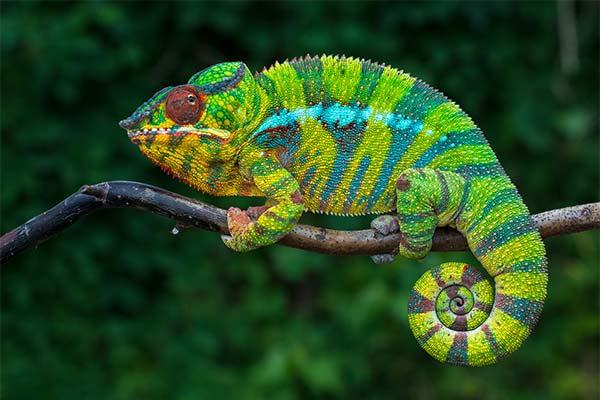 Какого цвета приснился хамелеон