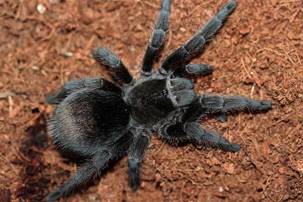 Какого цвета приснился тарантул
