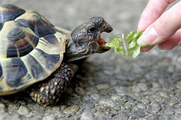 Кормить черепаху во сне