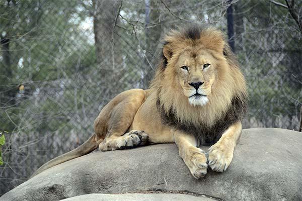 Лев в зоопарке во сне