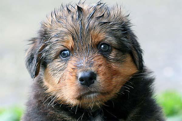 Мокрый щенок