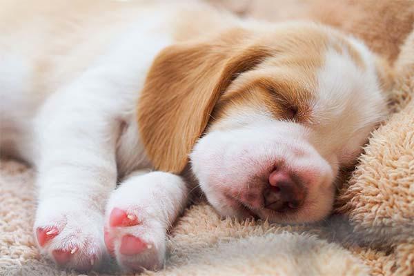 Щенок во сне