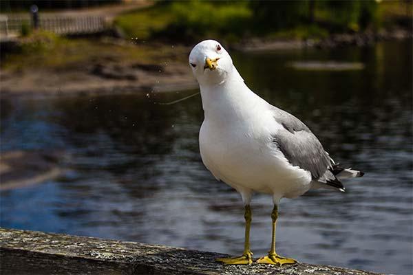 Сонник чайка