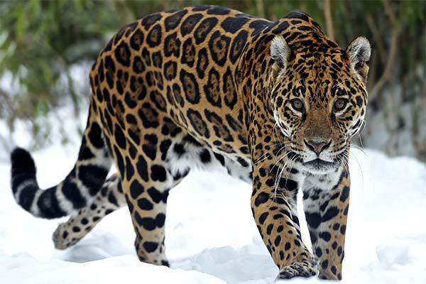Сонник ягуар