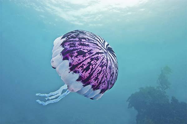 Сонник медуза