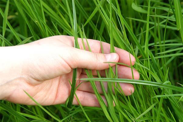 Сонник рвать траву
