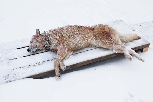 Сонник убить волка