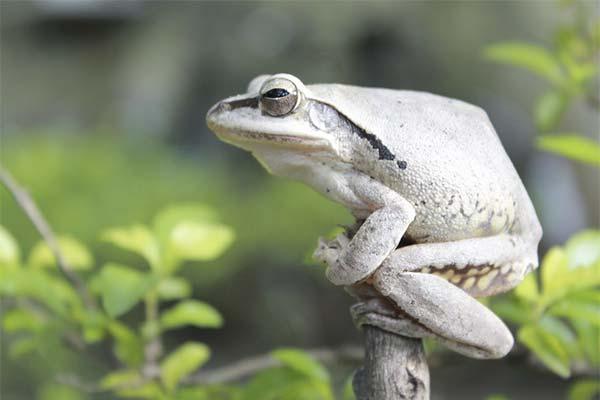 Белая жаба