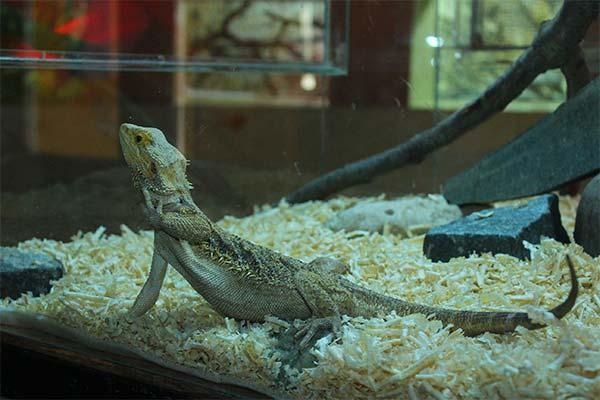 Ящерица в аквариуме