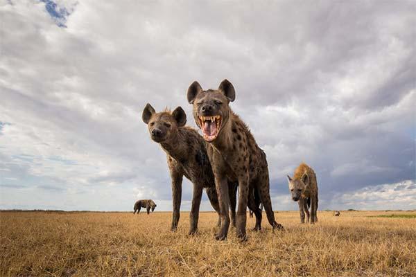 К чему снится гиена