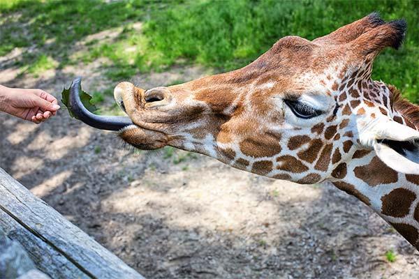 Кормить жирафа во сне
