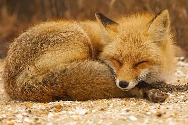 Лиса во сне