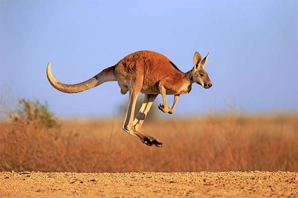Прыгающий кенгуру