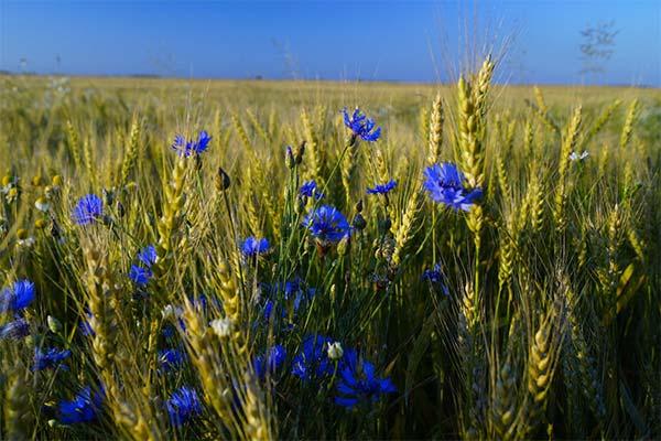Васильки в поле