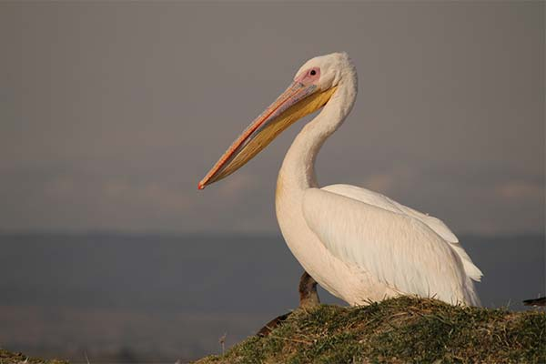 Белый пеликан во сне
