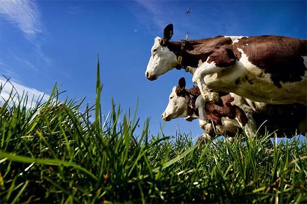К чему снится нападение коровы