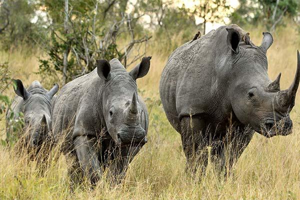 К чему снится носорог