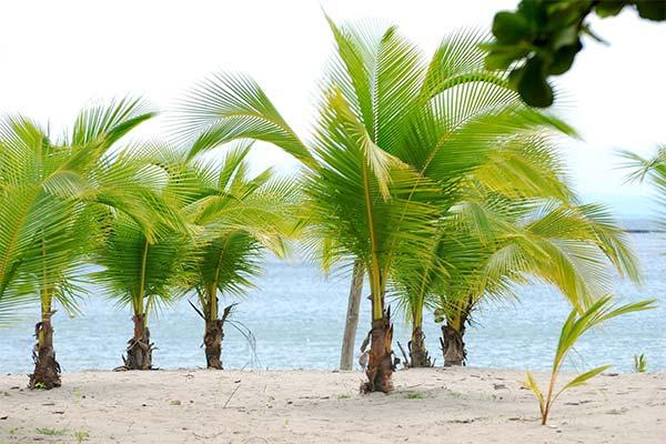 К чему снится пальма