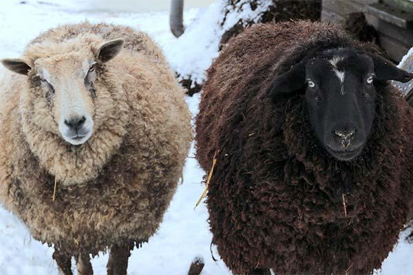 Какого цвета приснились овцы