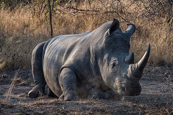 Носорог во сне