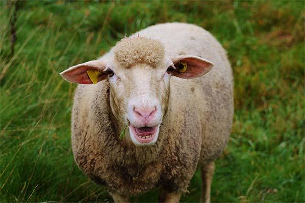 Сонник овцы