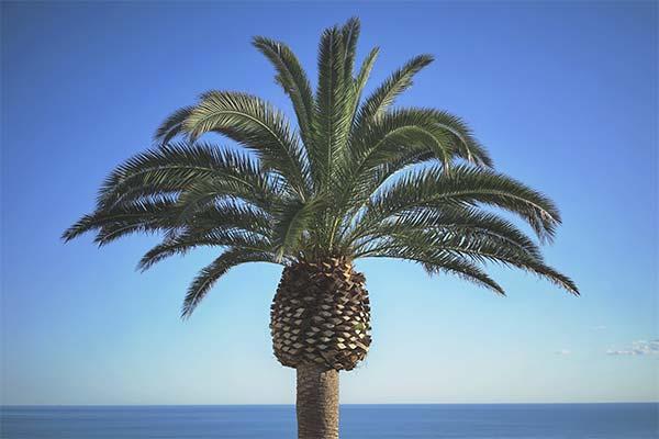 Сонник пальма