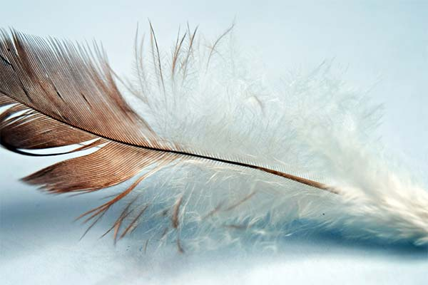 Сонник перья