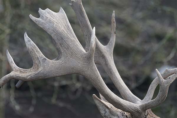 Сонник рога