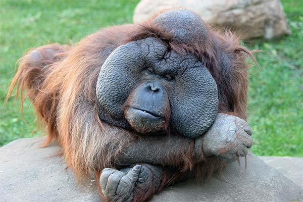 Толстая обезьяна во сне
