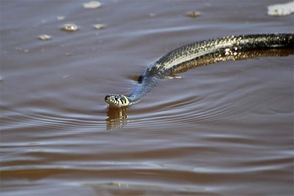 Змея на реке
