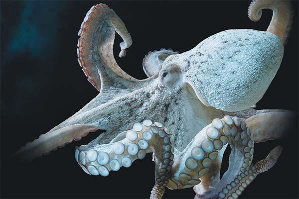 Белый осьминог