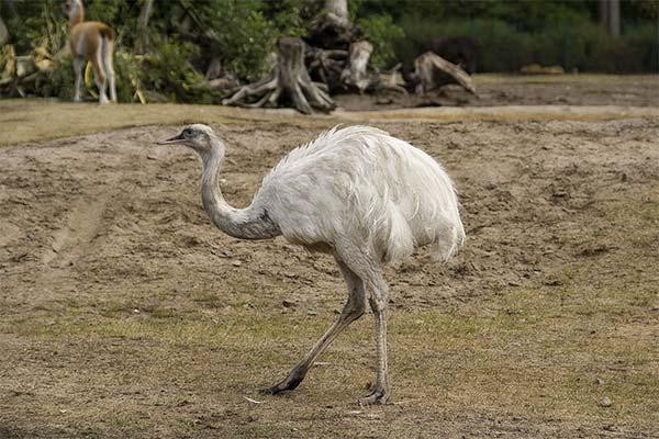 Белый страус