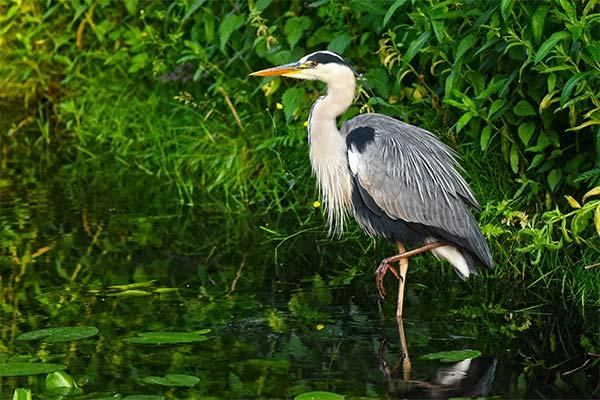 Цапля на болоте