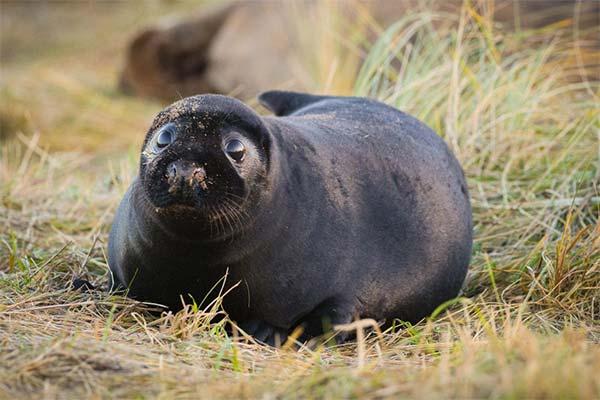 Черный тюлень